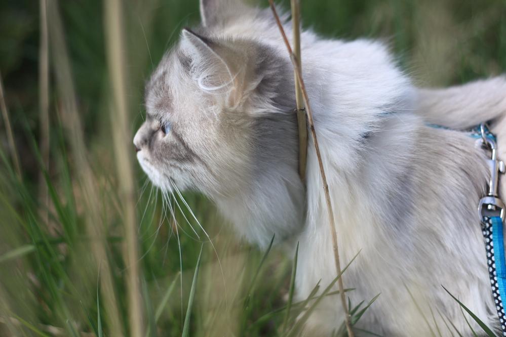 kot na smyczy, spacer z kotem
