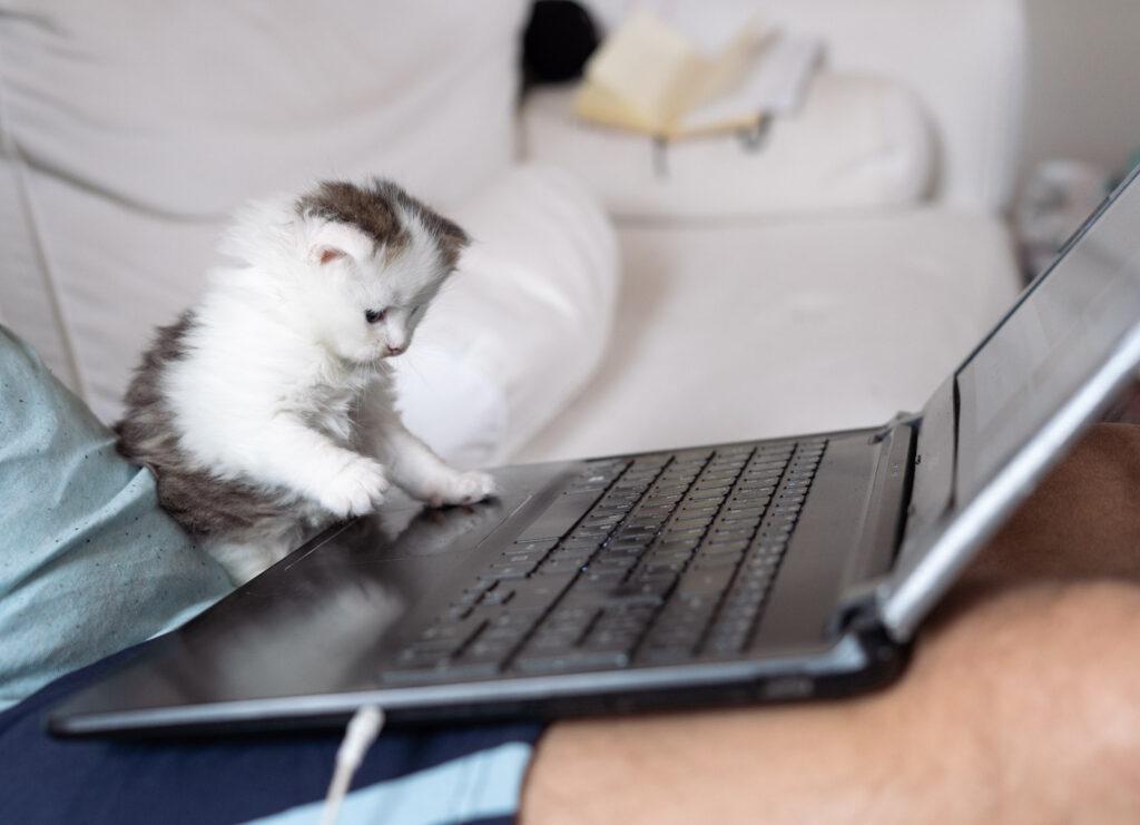 hodowla kotów syberyjskich